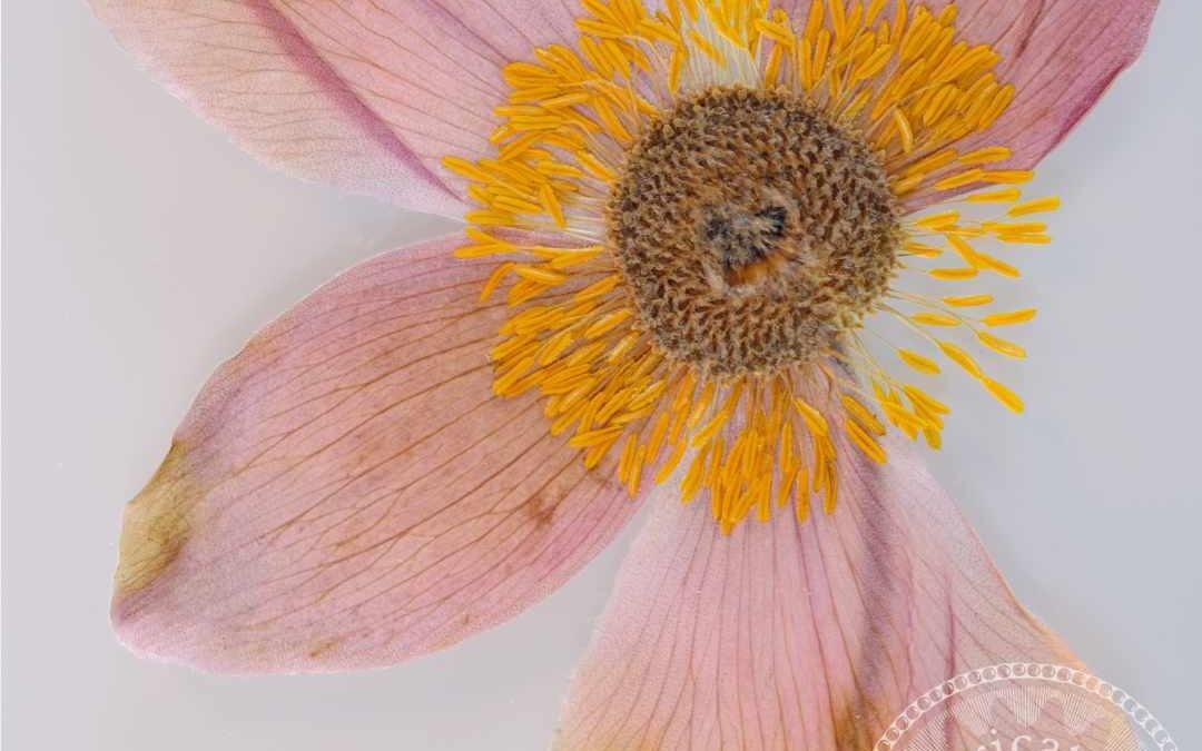 snowdrop anemone