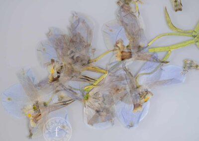 butterfly blue delphinium I